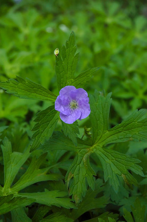 Closeup of a  Wild Geranium wildflower in the species Geranium maculatum and family Geraniaceae.  Photographed in the Lower Howards Creek Nature and Heritage Preserve in the Bluegrass region of Kentucky USA