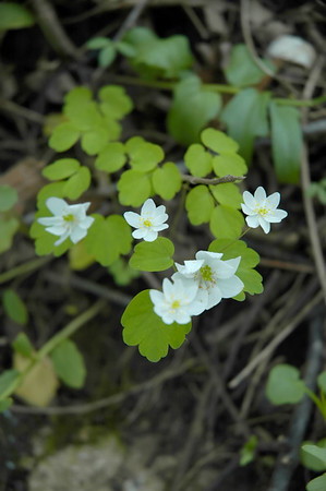 Closeup of Cliff Rue wildflowers in the species Thalictrum mirabile and family Ranunculaceae.  Photographed in the Lower Howards Creek Nature and Heritage Preserve in the Bluegrass region of Kentucky USA