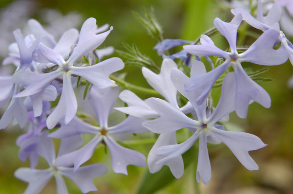 Closeup of Blue Phlox wildflowers in the species Phlox divaricata and family Polemoniaceae.  Photographed in the Lower Howards Creek Nature and Heritage Preserve in the Bluegrass region of Kentucky USA