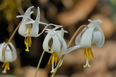 Stock image of WhiteTrout Lily wildflowers.  The scientific name for these flowers is Erythronium albidum in the family Liliaceae.  Photographed in the Lower Howards Creek Nature and Heritage Preserve in the bluegrass region of Kentucky