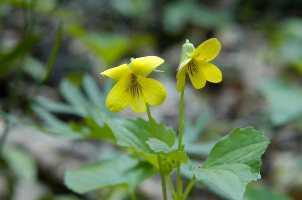 Stock image of a Yellow Woodland Violet or Downy Yellow Violet wildflowers in the species Viola pubescens and family Violaceae.  Photographed in the Lower Howards Creek Nature and Heritage Preserve in the Bluegrass region of Kentucky USA