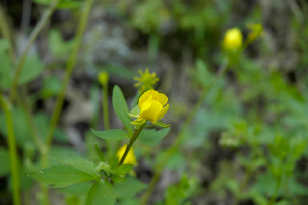 Closeup of the opening blossom of a Hairy Buttercup wildflower in the species Ranunculus hispidus and family Ranunculuaceae.  Photographed in the Lower Howards Creek Nature and Heritage Preserve in the Bluegrass region of Kentucky USA