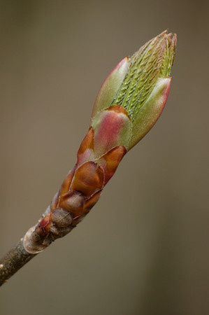 Stock image closeup of a delicate tree bud in early Spring as it first begins to open.  Photographed in the Lower Howards Creek Nature and Heritage Preserve in the Bluegrass region of Kentucky USA.
