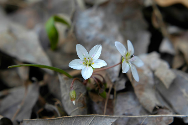 Close-up up a Spring Beauty wildflower in early Spring.  The scientific name for this species is Claytonia virginica and is in the Portulacaceae family of wildflowers.  Photographed in the Bluegrass region of Kentucky USA.