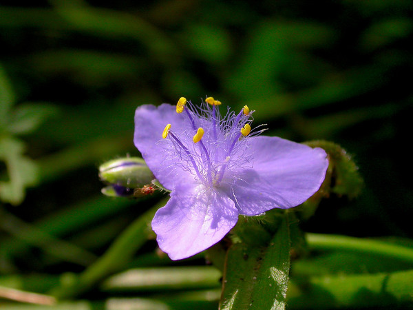 Early or Virginia Spiderwort wildflowers in the species Tradescantia virginiana  and family Commelinaceae.  Photographed in the Lower Howards Creek Nature and Heritage Preserve in the Bluegrass region of Kentucky USA