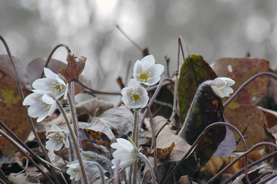 Stock image of Sharp-lobed Hepatica wildflowers in early Spring.  The scientific name for this species is Hepatica acutiloba and is in the Ranunculaceae or buttercup family of wildflowers.  Photographed in the Lower Howards Creek Nature and Heritage Preserve in the Bluegrass region of Kentucky USA