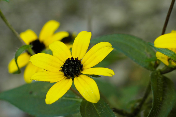 Closeup of  Black-Eyed Susan wildflowers in the species Rudbeckia hirta and family   Asteraceae.  Photographed in the Lower Howards Creek Nature and Heritage Preserve in the Bluegrass region of Kentucky USA