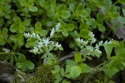 Closeup of a Stonecrop wildflower in the species Sedum ternatum and family  Crassulaceae.  Photographed in the Lower Howards Creek Nature and Heritage Preserve in the Bluegrass region of Kentucky USA