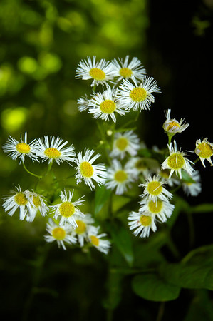 Closeup of  Philadelphia Fleabane wildflowers in the species Erigeron philadelphicus and family  Asteraceae  Photographed in the Lower Howards Creek Nature and Heritage Preserve in the Bluegrass region of Kentucky USA