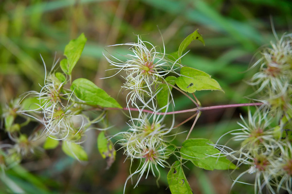 Stock image of Virgin's Bower wildflowers in the species Clematis virginiana and family Ranaunculaceae.  Photographed in the Lower Howards Creek Nature and Heritage Preserve in the Bluegrass region of Kentucky USA