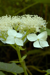 Closeup of  wildflowers in the species Hydrangea arborescens and family Hydrangeaceae.  Photographed in the Lower Howards Creek Nature and Heritage Preserve in the Bluegrass region of Kentucky USA