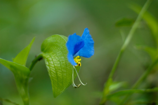 Stock image of Asiatic Dayflower wildflowers in the species Commelina communis and family Commelinaceae.  Photographed in the Lower Howards Creek Nature and Heritage Preserve in the Bluegrass region of Kentucky USA