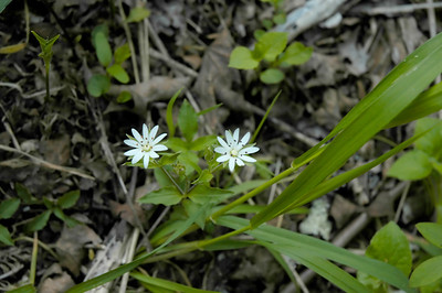 Closeup of a Star Chickweed wildflower in the species Stellaria pubera and family Caryophyllaceae.  Photographed in the Lower Howards Creek Nature and Heritage Preserve in the Bluegrass region of Kentucky USA