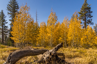 Aspen Grove in the Eastern Sierras