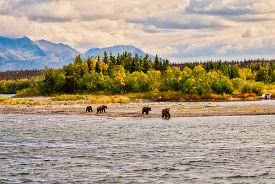 Brown Bears on Naknek Lake