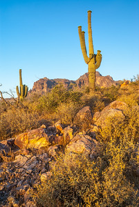 Saguaro Cactus in the Superstitions