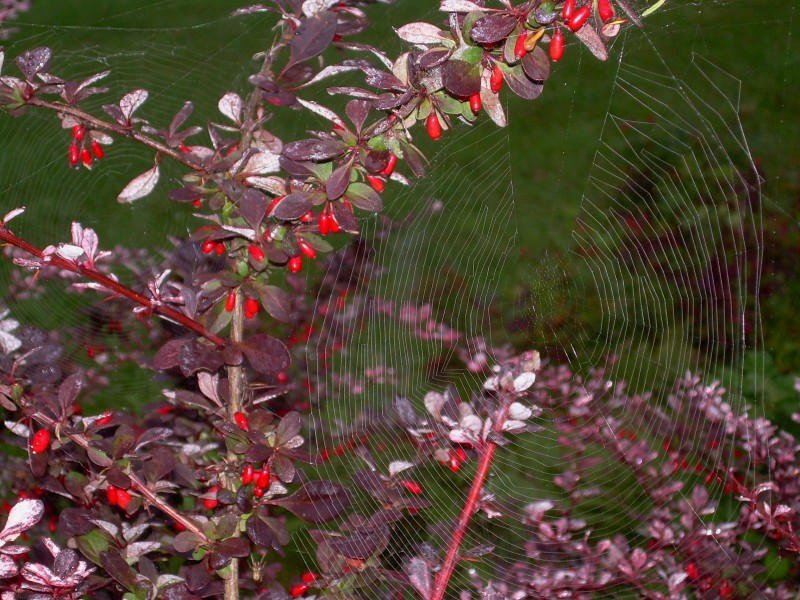 Spider webs on the Shore Path, Bar Harbor