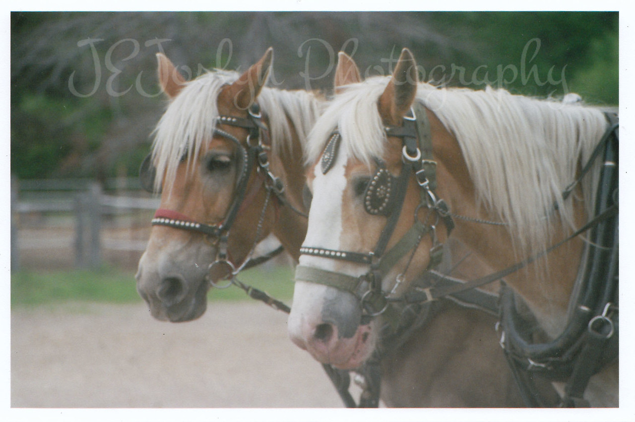DEWEY and DICK   Draft team at Bunker Stables, Anoka, Minnesota, summer, 2007.  Dewey (left) and Dick (right)