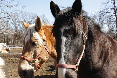 Blaze (shire) and Belgian friend of Bunker Park Stables, Minnesota
