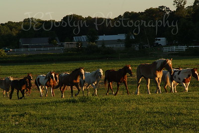 Bunker Stable, Anoka, Minn.  Horses gladly heading for evening pasture.  6-2010