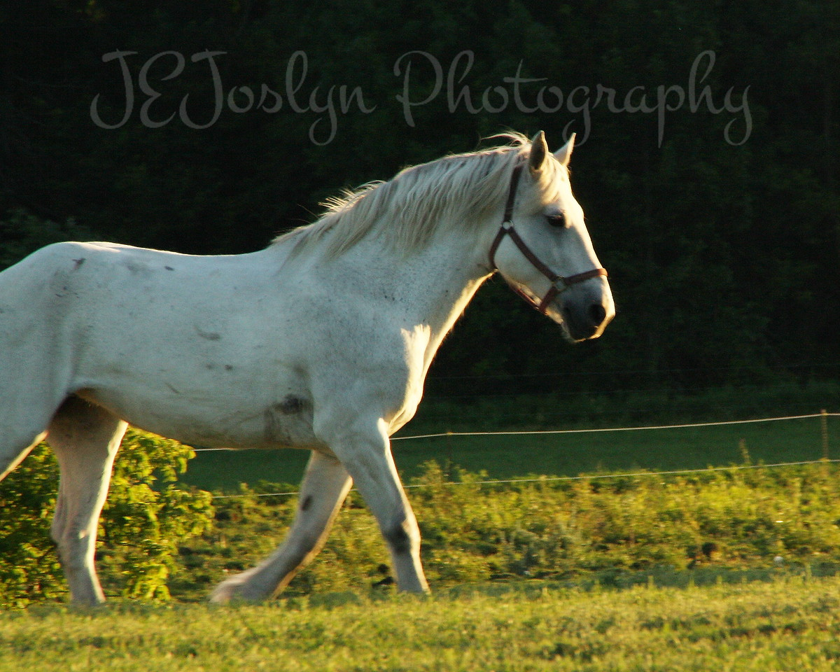 Bunker Stable, Anoka, Minn.  Horses gladly heading for evening pasture.  6-2010