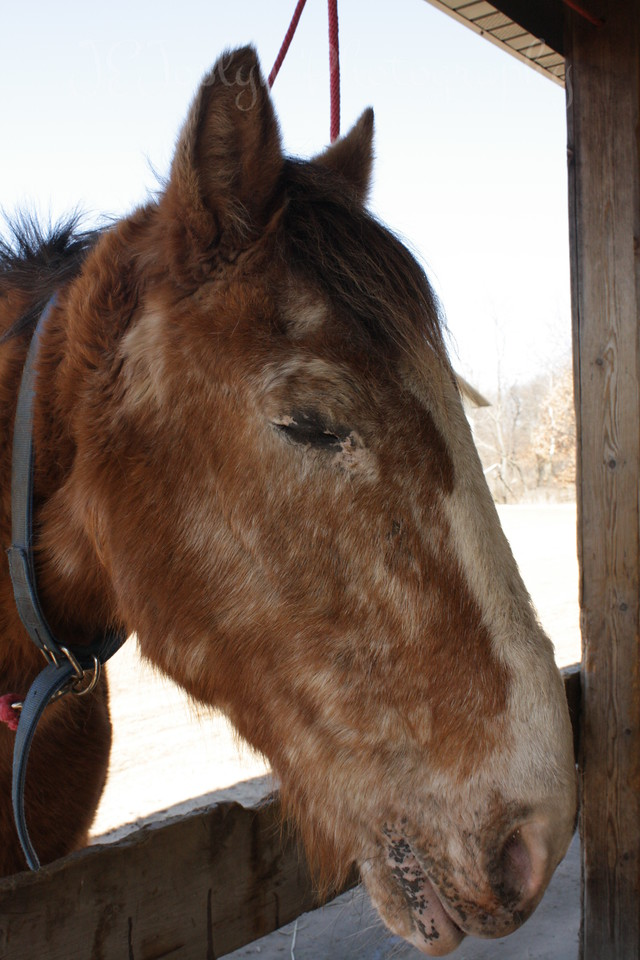 Sage of Bunker Park Stables, Minnesota.  He's got an appaloosa face and like coloration elsewheres.