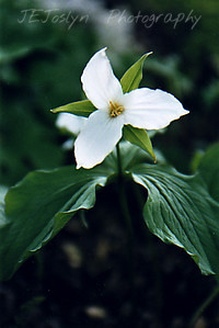 "Garden - Large-flowered trillium (Trillium grandiflorum)    Spring-blooming native perennial, to 1' tall, often seen in large clusters on roadsides. White flowers to 3"" wide, turning pink with age. Plants have 3 broad leaves whorled below the flower, which blooms in May. The nodding trillium is also common in and has a white flower that hangs below the leaves.  http://www.dnr.state.mn.us/wildflowers"