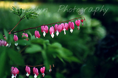 Garden - Bleeding Heart