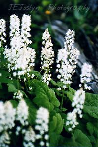 Garden - Foam Flower