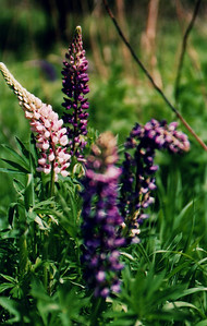Lupine - might see on future trail rides.