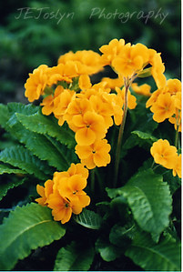 Garden - Primerose flower