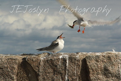 Tern and his chick anxiously greeting his lunch!