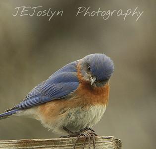 CM  - SM  -   FB   Bluebird