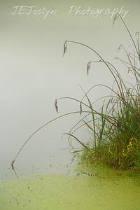 Tall natural grasses by lake shore.