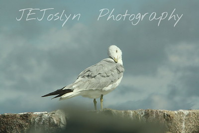 Ring Billed Gull.  Lovingly caring for his life sustaining feathers.