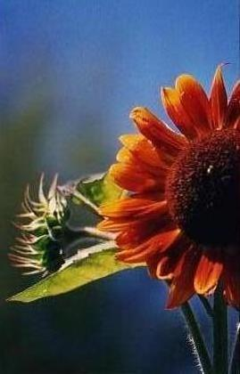 Garden - Sunflower variety
