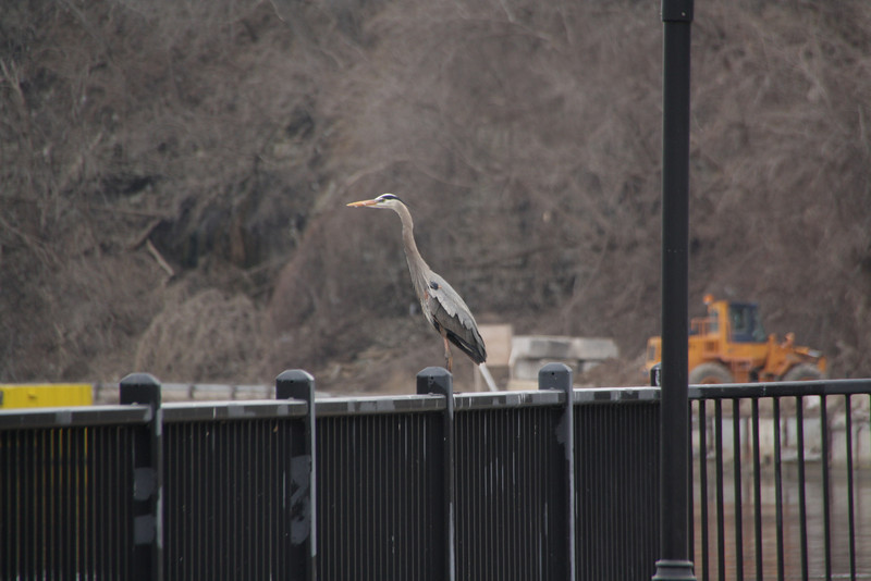 Heron.  St. Anthony Falls, Minneapolis, Minnesota, March 27, 2010.  About 3 days after flood stage.