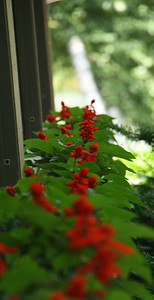 Salvia is great for hummingbirds, and really a wow when they are in every window box around a porch.