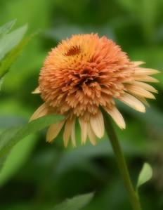 PomPom Cone Flower