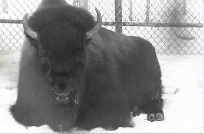 buffalo at como