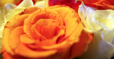 A close up of aan orange rose and a white rose flower