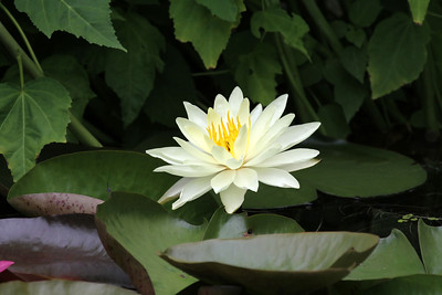 A white Water Lily surrounded by green leaves
