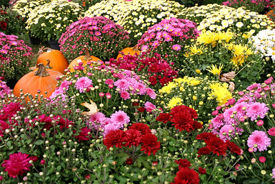 Dozens of Chrysanthemums plants and a few pumkins
