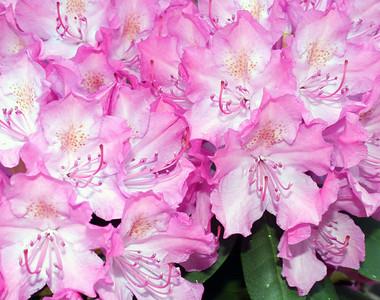 Flowering Rhododendron Bush
