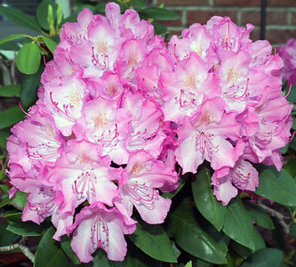 Flowering Rhododendron Bush