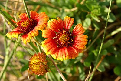Indian Blanket Flower with blurred background