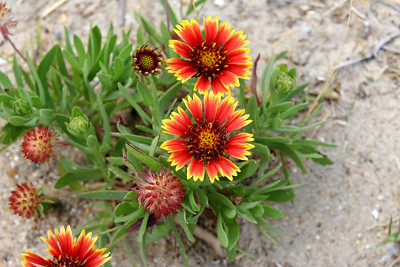 Indian Blanket Flower in the sand at the beach