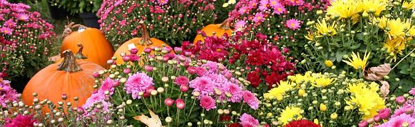 Dozens of Chrysanthemums plants and a few pumkins