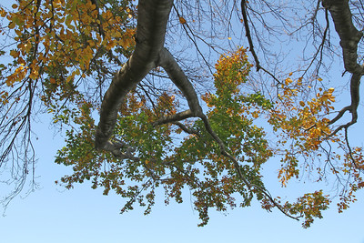 Looking up into a tree that has lost most of it's leaves
