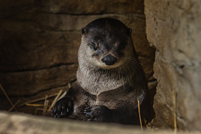 River Otter – North American